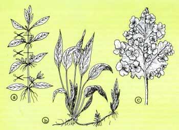 Размножение растений в аквариуме
