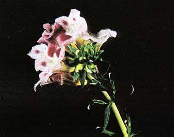 Цветок Limnophila aquatica