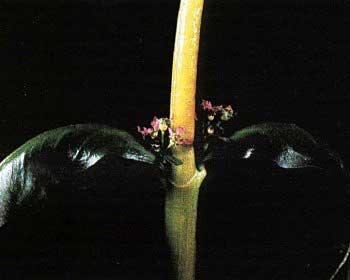 Цветок A.senegslensis