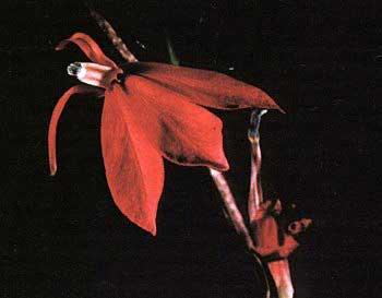Цветок Lobelia cardinalis