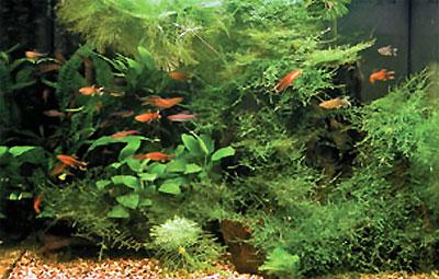 Этот 100-литровый аквариум был оформлен несколькими заранее подготовленными корягами с яванским мхом практически за десять минут. Он успешно прожил несколько лет без изменений и только становился все лучше и лучше