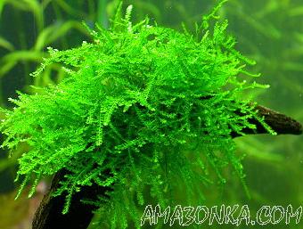 Яванский мох.  Кабомба каролинская.  Список растений на