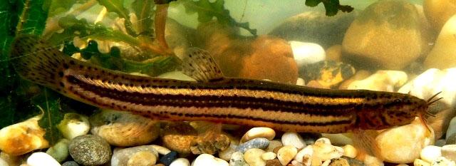 рыбка вьюн видео