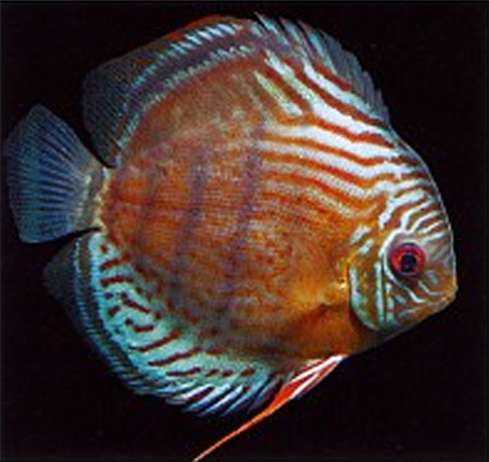 Зеленый дискус (Symphysodon tarzoo) из Рио-Тефе с характерными красными точками.