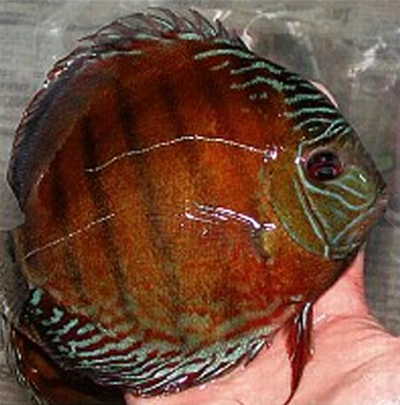 Улов из реки Мадейра (местечко Нова Олинда). Кто же это: Symphysodon tarzoo или Symphysodon aequifasciata?