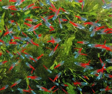 Красные неоны в выростном аквариуме.