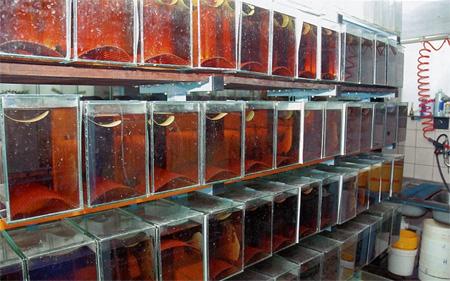 В «лабиринте» Петра Сошки есть «уголок» для разведения неонов. Из оборудования в этих мини-аквариумах только аэрация