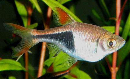 """Аквариумные рыбки фото, описание, содержание, разведения.Семейство аквариумных рыбок """"Карповые (Cyprinidae)""""  109"""