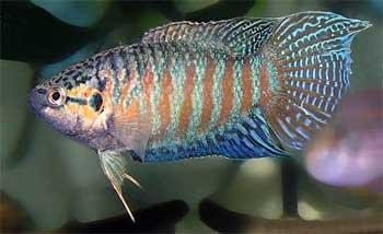 Макропод обыкновенный, или райская рыбка (Macropodus opercularis)