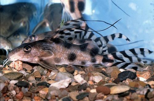 """Аквариумные рыбки фото и описание. Семейство аквариумных рыбок """"Бахромчатоусые или перистоусые сомы (Mochokidae)"""" 111"""