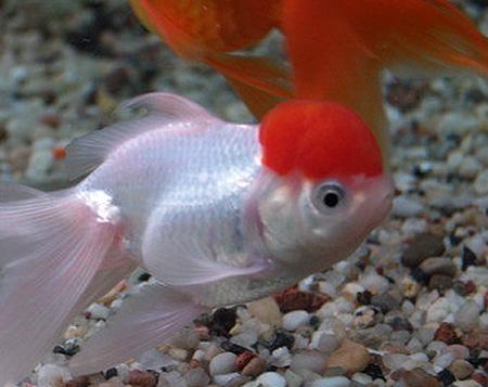 """Аквариумные рыбки фото, описание, содержание, разведения.Семейство аквариумных рыбок """"Карповые (Cyprinidae)""""  112-1"""