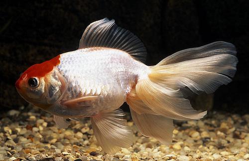 """Аквариумные рыбки фото, описание, содержание, разведения.Семейство аквариумных рыбок """"Карповые (Cyprinidae)""""  112"""