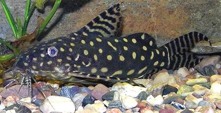 """Аквариумные рыбки фото и описание. Семейство аквариумных рыбок """"Бахромчатоусые или перистоусые сомы (Mochokidae)"""" 117-1"""