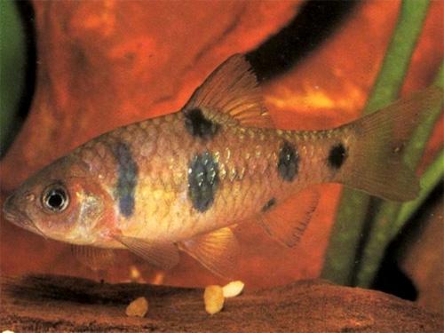 """Аквариумные рыбки фото, описание, содержание, разведения.Семейство аквариумных рыбок """"Карповые (Cyprinidae)""""  119-1"""
