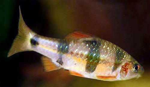 """Аквариумные рыбки фото, описание, содержание, разведения.Семейство аквариумных рыбок """"Карповые (Cyprinidae)""""  119"""