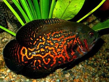 фото рыб гурами