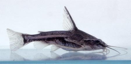 """Аквариумные рыбки фото и описание. Семейство аквариумных рыбок """"Броняковые или бокочешуйниковые сомы (Doradidae)"""" 123"""