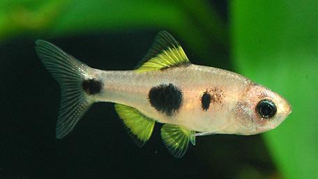 """Аквариумные рыбки фото, описание, содержание, разведения.Семейство аквариумных рыбок """"Карповые (Cyprinidae)""""  129"""