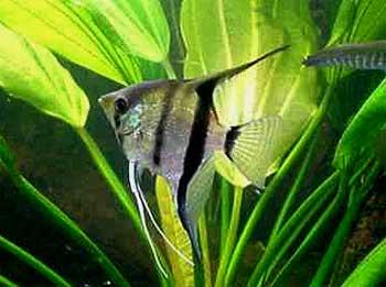 Скалярия обыкновенная, рыба-ангел (Pterophyllum scalare)