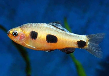 """Аквариумные рыбки фото, описание, содержание, разведения.Семейство аквариумных рыбок """"Карповые (Cyprinidae)""""  135-2"""
