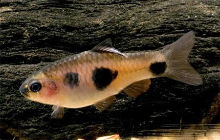 """Аквариумные рыбки фото, описание, содержание, разведения.Семейство аквариумных рыбок """"Карповые (Cyprinidae)""""  135"""