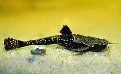 Буноцефал или Сом-коряга (Bunocephalus bicolor)