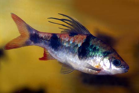 """Аквариумные рыбки фото, описание, содержание, разведения.Семейство аквариумных рыбок """"Карповые (Cyprinidae)""""  146"""
