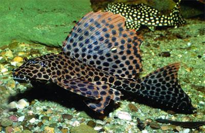 Парчовый глиптоперихт (Glyptoperichthys gibbiceps)