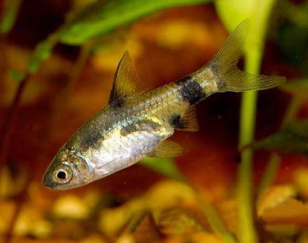 """Аквариумные рыбки фото, описание, содержание, разведения.Семейство аквариумных рыбок """"Карповые (Cyprinidae)""""  157"""