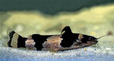 Зебровый микрогланис или Сомик-арлекин или Сомик-пчелка (Microglanis iheringi)