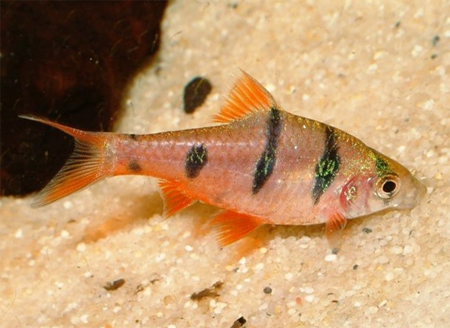 """Аквариумные рыбки фото, описание, содержание, разведения.Семейство аквариумных рыбок """"Карповые (Cyprinidae)""""  161"""