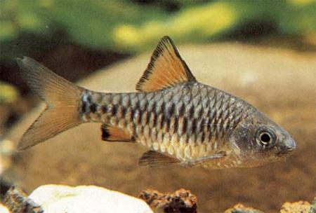 """Аквариумные рыбки фото, описание, содержание, разведения.Семейство аквариумных рыбок """"Карповые (Cyprinidae)""""  162"""