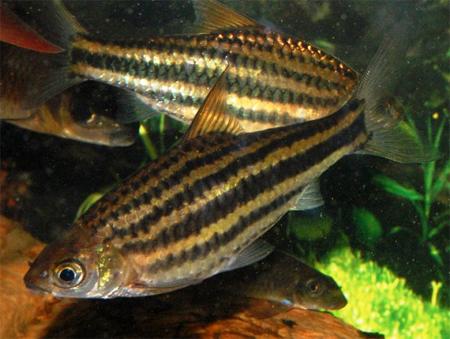 """Аквариумные рыбки фото, описание, содержание, разведения.Семейство аквариумных рыбок """"Карповые (Cyprinidae)""""  163"""