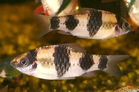 """Аквариумные рыбки фото, описание, содержание, разведения.Семейство аквариумных рыбок """"Карповые (Cyprinidae)""""  164"""