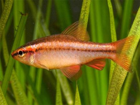 """Аквариумные рыбки фото, описание, содержание, разведения.Семейство аквариумных рыбок """"Карповые (Cyprinidae)""""  165"""