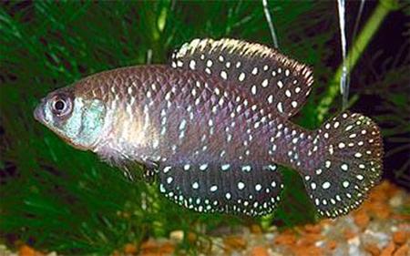 """Аквариумные рыбки фото, описание, содержание, разведения.Семейство аквариумных рыбок """"Карпозубые (Cyprinodontidae)""""  167"""