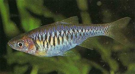 """Аквариумные рыбки фото, описание, содержание, разведения.Семейство аквариумных рыбок """"Карповые (Cyprinidae)""""  169"""