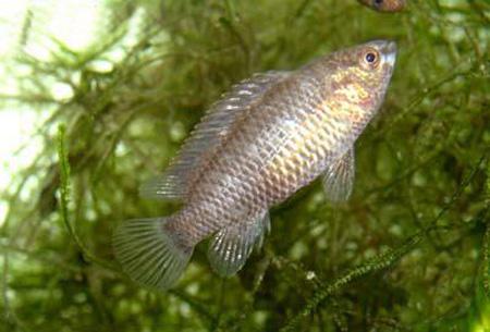 """Аквариумные рыбки фото и описание. Семейство аквариумных рыбок """"Бадиевые (Badidae)"""" 175-1"""