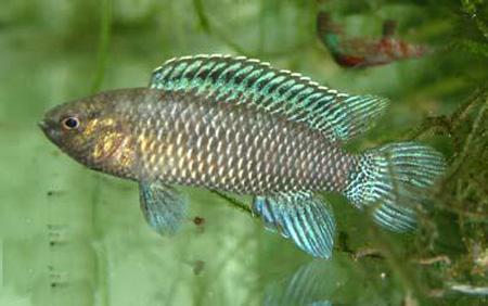 """Аквариумные рыбки фото и описание. Семейство аквариумных рыбок """"Бадиевые (Badidae)"""" 175"""