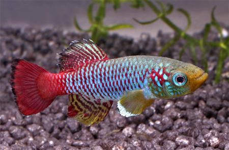 """Аквариумные рыбки фото, описание, содержание, разведения.Семейство аквариумных рыбок """"Карпозубые (Cyprinodontidae)""""  183"""