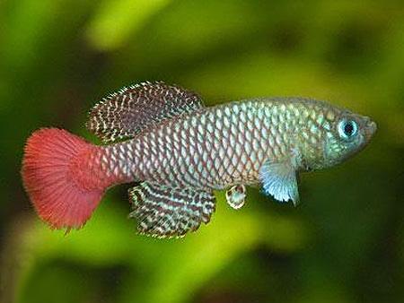 """Аквариумные рыбки фото, описание, содержание, разведения.Семейство аквариумных рыбок """"Карпозубые (Cyprinodontidae)""""  184"""