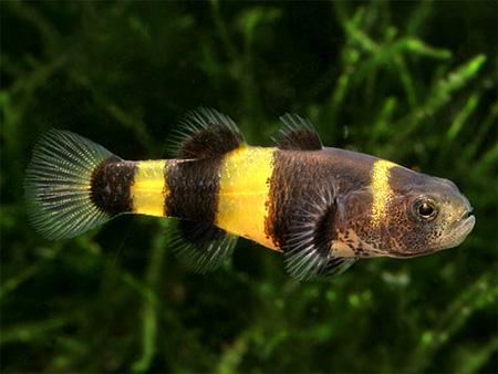 """Аквариумные рыбки фото, описание, содержание, разведения. Семейство аквариумных рыбок """"Бычковые (Gobiidae)"""" 188"""