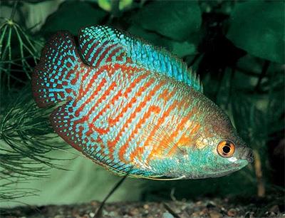 Также цихлидовые, но не все.  Цихлидовые вообще считаются самыми красивыми и умными из всех рыб, отличные родители.