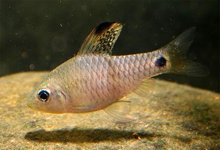 """Аквариумные рыбки фото, описание, содержание, разведения.Семейство аквариумных рыбок """"Карповые (Cyprinidae)""""  191"""
