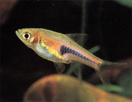 """Аквариумные рыбки фото, описание, содержание, разведения.Семейство аквариумных рыбок """"Карповые (Cyprinidae)""""  195"""