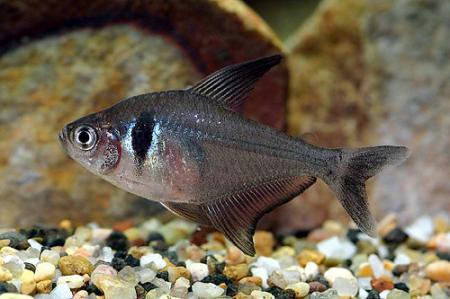 Орнатус черный, фантом черный, Фантом-салмлер черный (Hyphessobrycon megalopterus, Megalamphodus megalopterus)