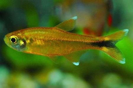 фото рыбка тетра