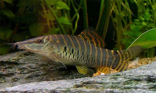 """Аквариумные рыбки фото, описание, содержание, разведения. Семейство аквариумных рыбок """"Вьюновые (Cobitidae)"""" 208"""