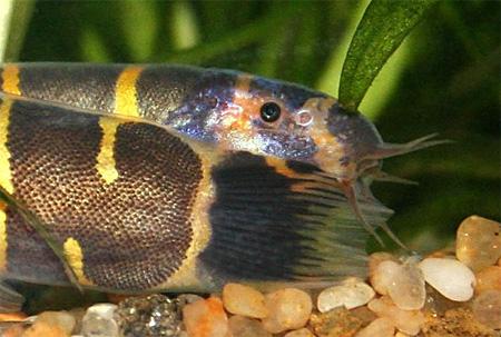 """Аквариумные рыбки фото, описание, содержание, разведения. Семейство аквариумных рыбок """"Вьюновые (Cobitidae)"""" 21-1"""