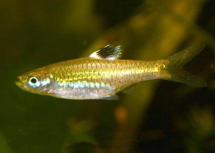 """Аквариумные рыбки фото, описание, содержание, разведения.Семейство аквариумных рыбок """"Карповые (Cyprinidae)""""  211"""